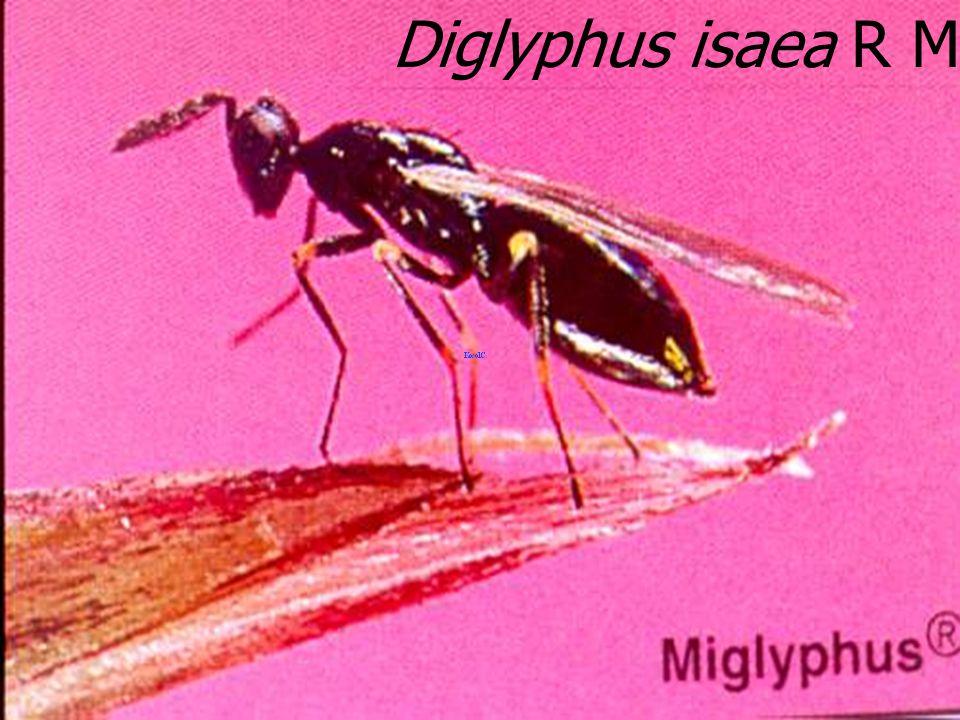 Diglyphus isaea leaf miner par