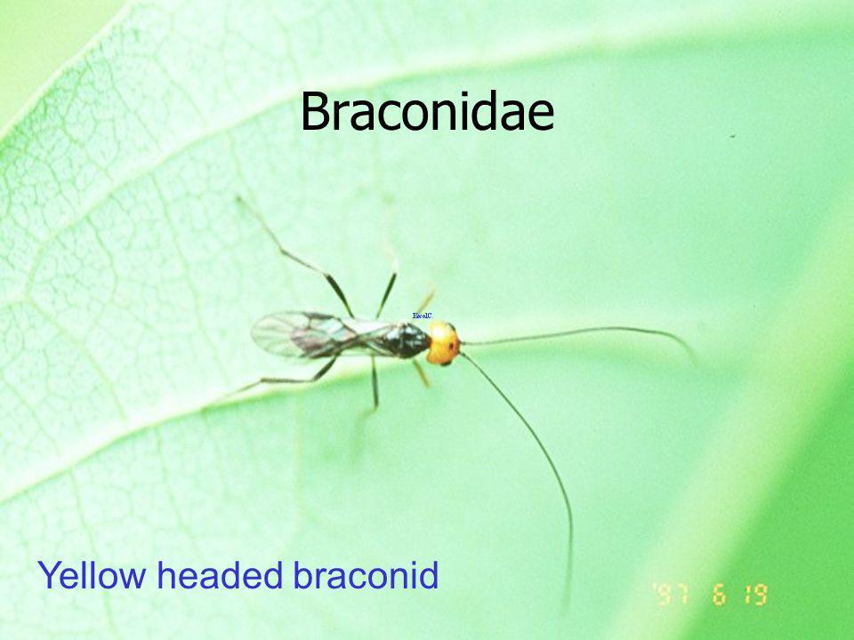 Fonicia chalcoscelidis แตนเบียนโฟ นิเซีย ex Thosea bipartita