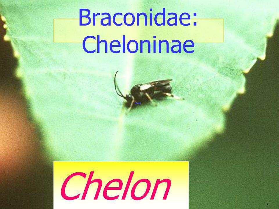 Yellow headed braconid Braconidae