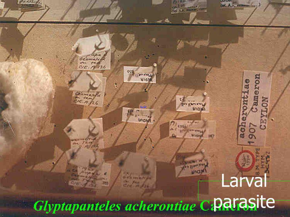 Glyptapanteles acherontiae Cameron Larval parasite