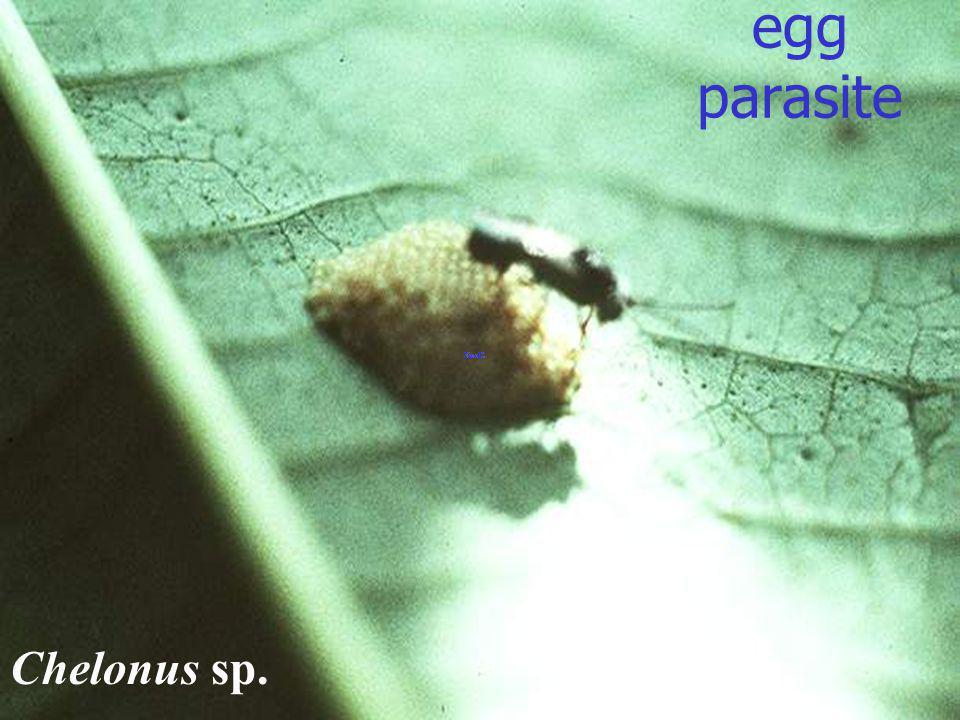 Chelonus sp. egg parasite