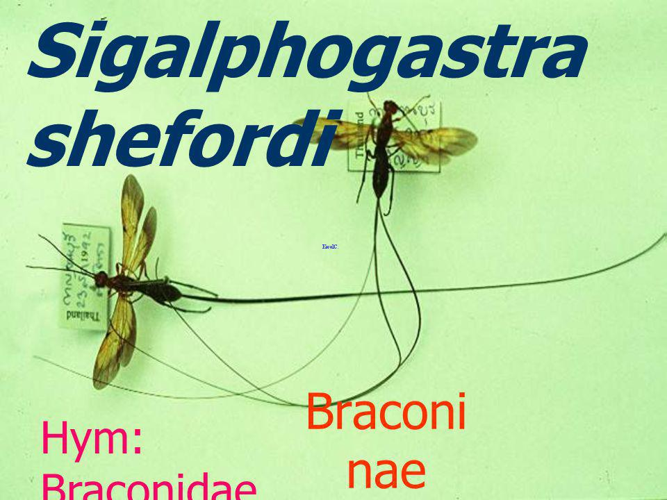 Chelonus sp. egg parasite Cheloninae,Brac onidae