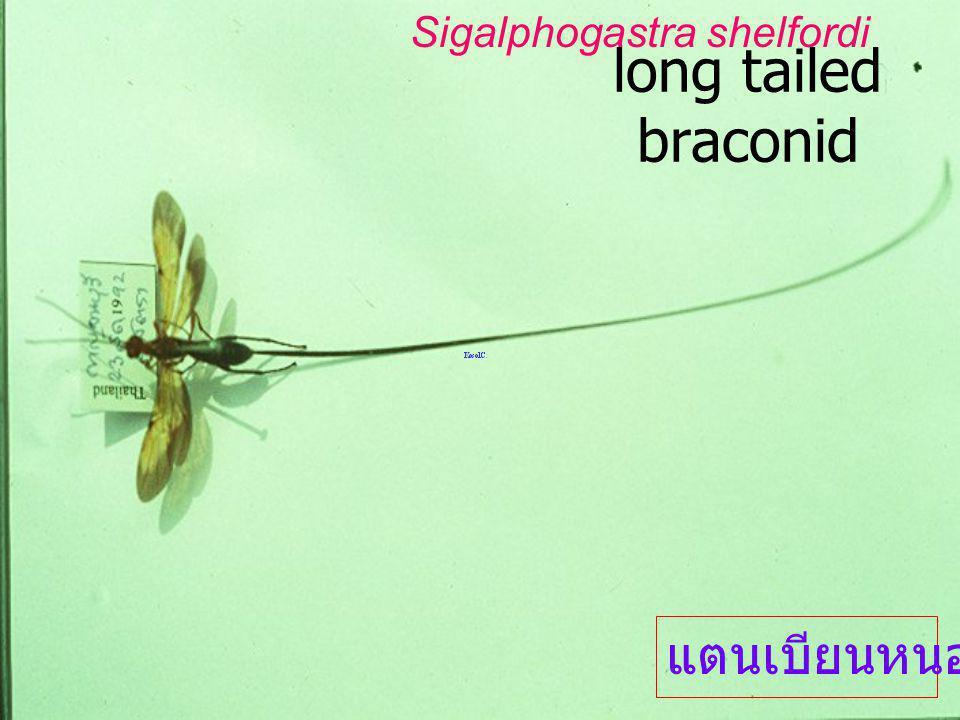 Sigalphogastra shefordi Hym: Braconidae Braconi nae