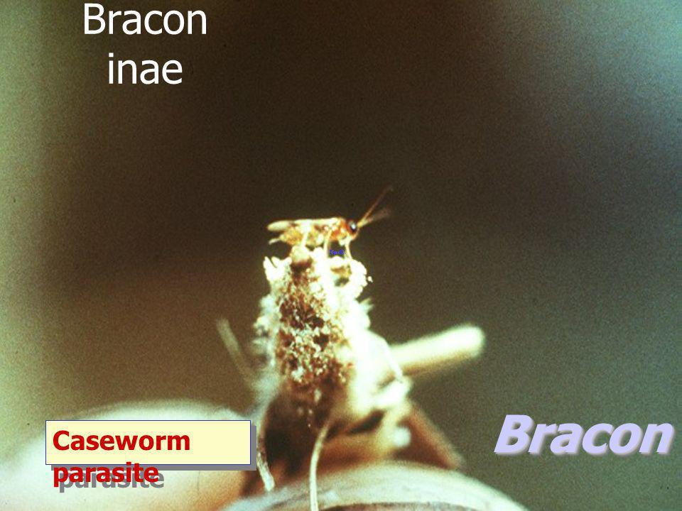 Sigalphogastra shelfordi แตนเบียนหนอน long tailed braconid