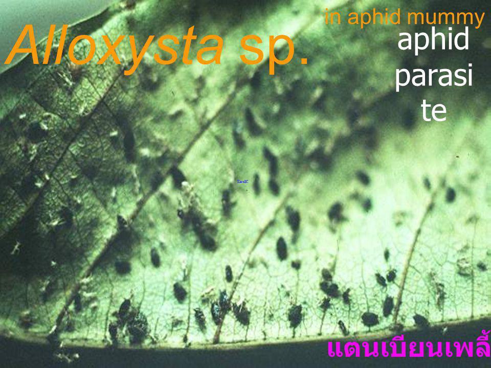 Aphidiu s sp. ex peach aphid Braconidae: Aphidiinae