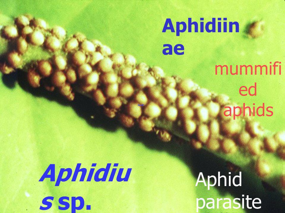 Aphelinus sp. aphid parasite