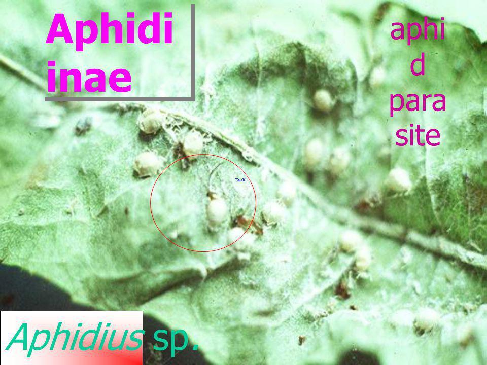 Aphidiu s sp. Aphidiin ae Aphid parasite mummifi ed aphids