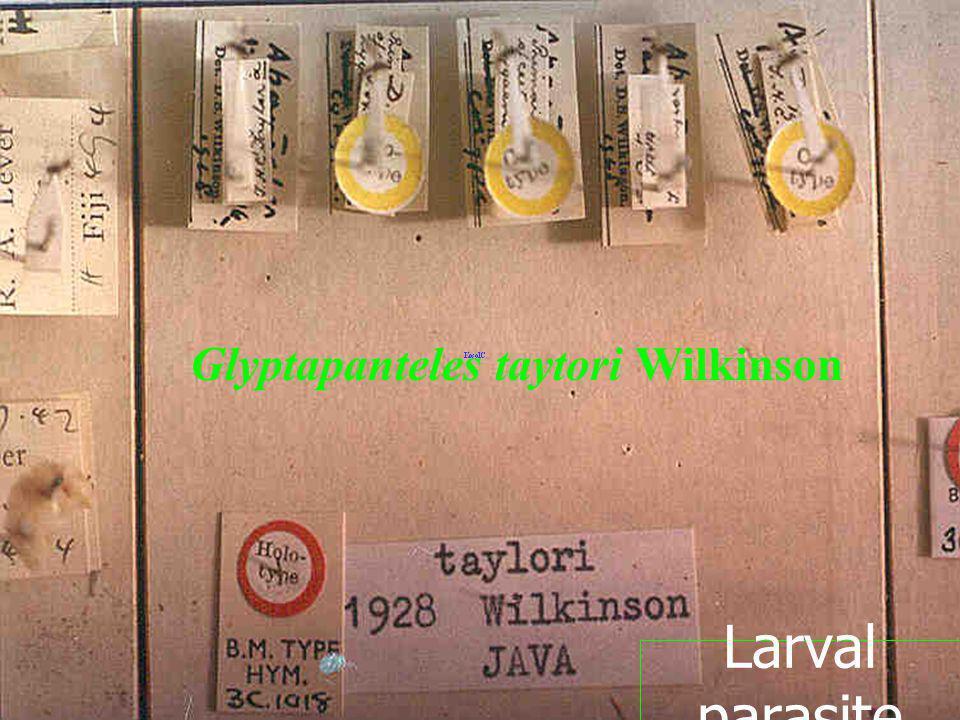 Glyptapanteles taytori Wilkinson Larval parasite