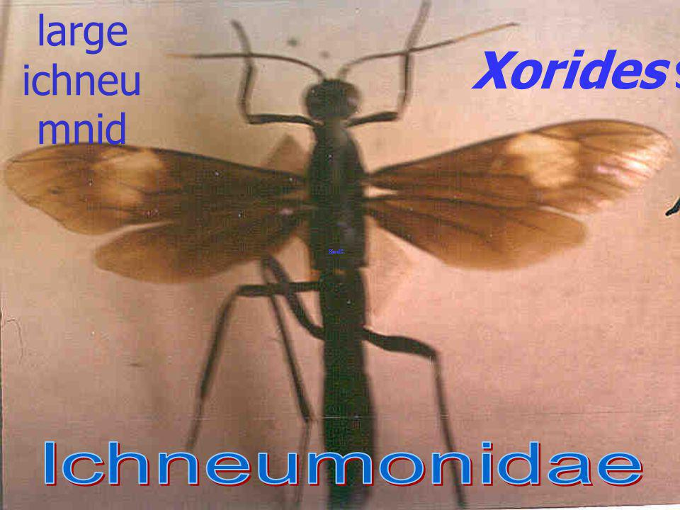 Microbracon sp. Braconidae: Braconinae ectopara site