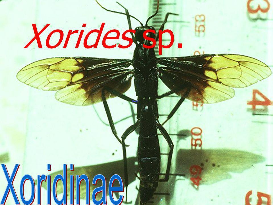 Xorides sp. the large ichneu mnid