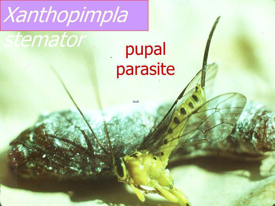 Xanthopimpla sp. Ex Erionota thrax banana skipper pupa