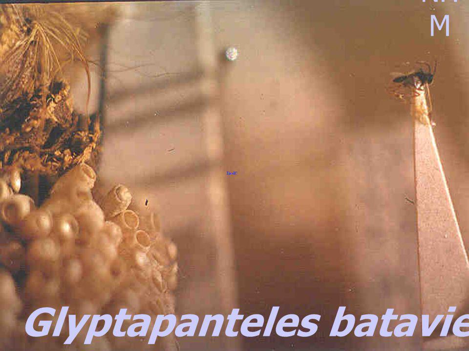 Microplitis maculipennis pupa Achaea janata castor semi-looper Achaea janata castor semi-looper