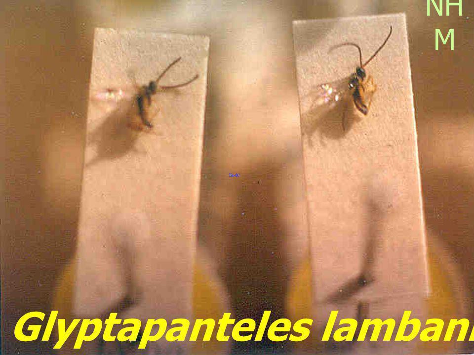 Ichneumonid cocoon in Papilio skin Melalophacharops sp.