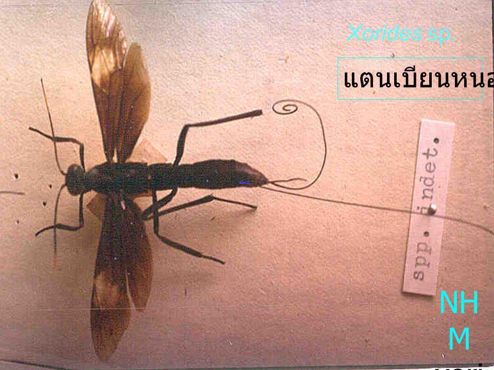 Enicospilus sp. Ophio ninae