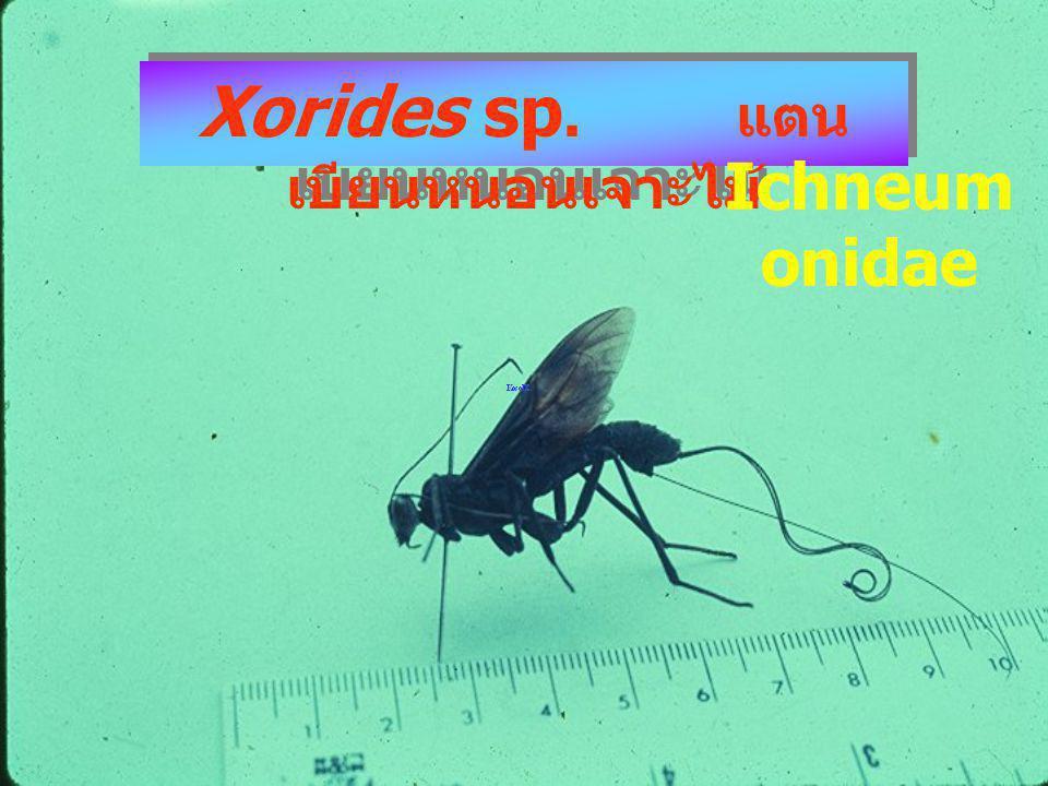 Xorides sp. แตนเบียนหนอน NH M xori des