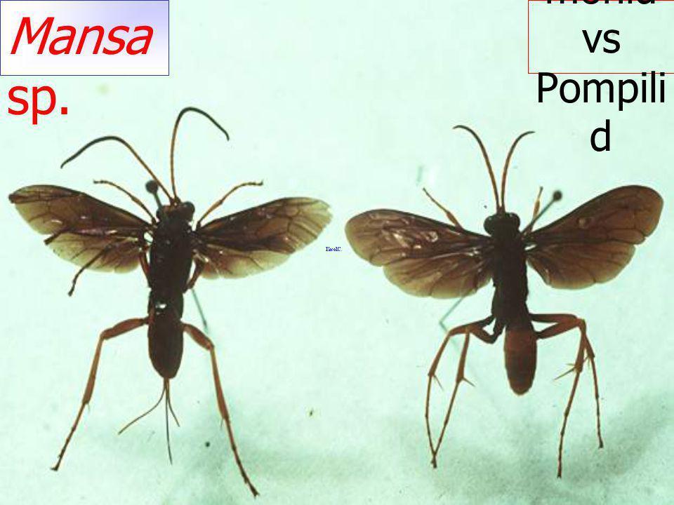 Xorides sp. แตน เบียนหนอนเจาะไม้ Ichneum onidae