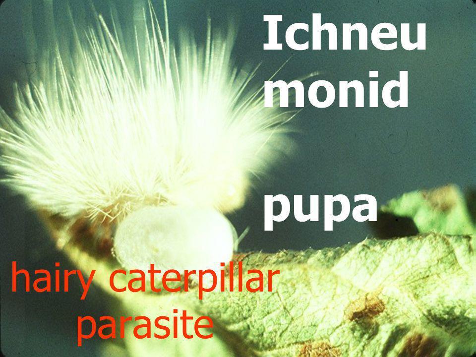 Ichneumonid pupal case in larval skin