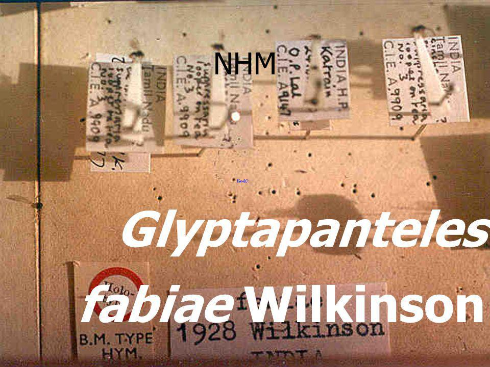 in aphid mummy แตนเบียนเพลี้ยอ่อน aphid parasi te Alloxysta sp.