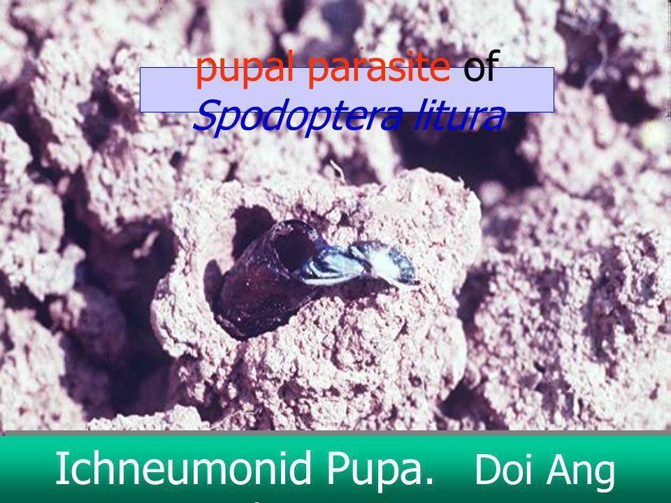 Ichneumonid Doi Ang Khang 1976 Spodoptera litura parasitized pupa