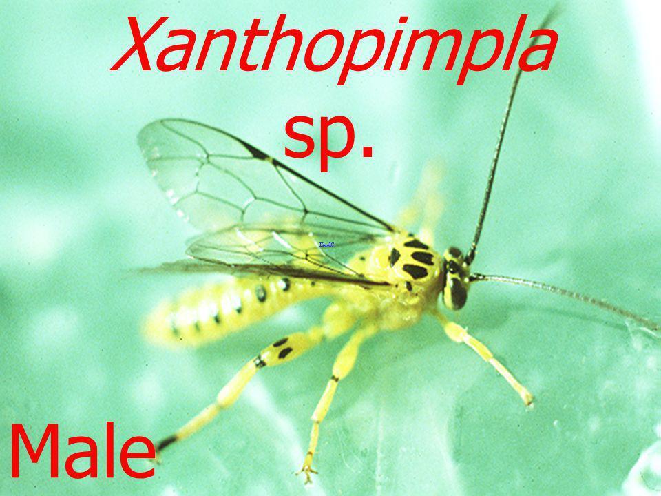 Ichneumonid ex Papilio L3 Melalophacharops sp.
