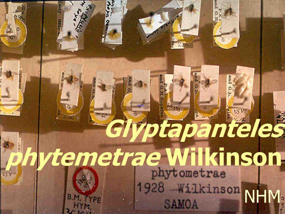 Glyptapanteles phytemetrae Wilkinson NHM