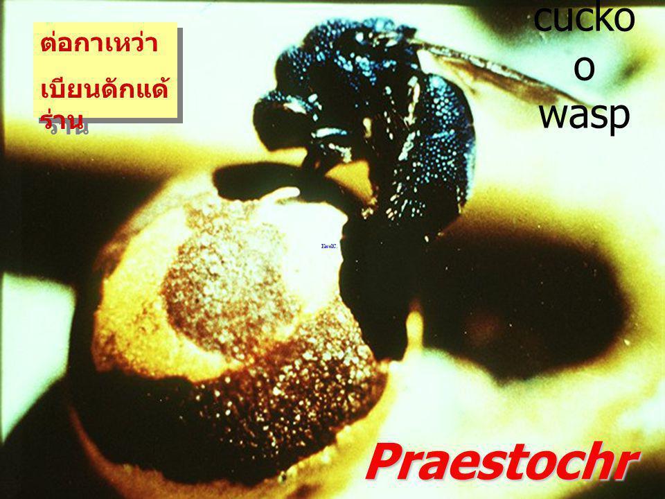 Praestochrysius shanghaiensis Cuckoo wasp Chrysididae