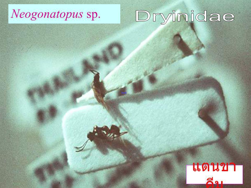 Loboscellidia sp. แตนเบียนโลโบ เซลลิเดีย Bethyloidea: Loboscelidae