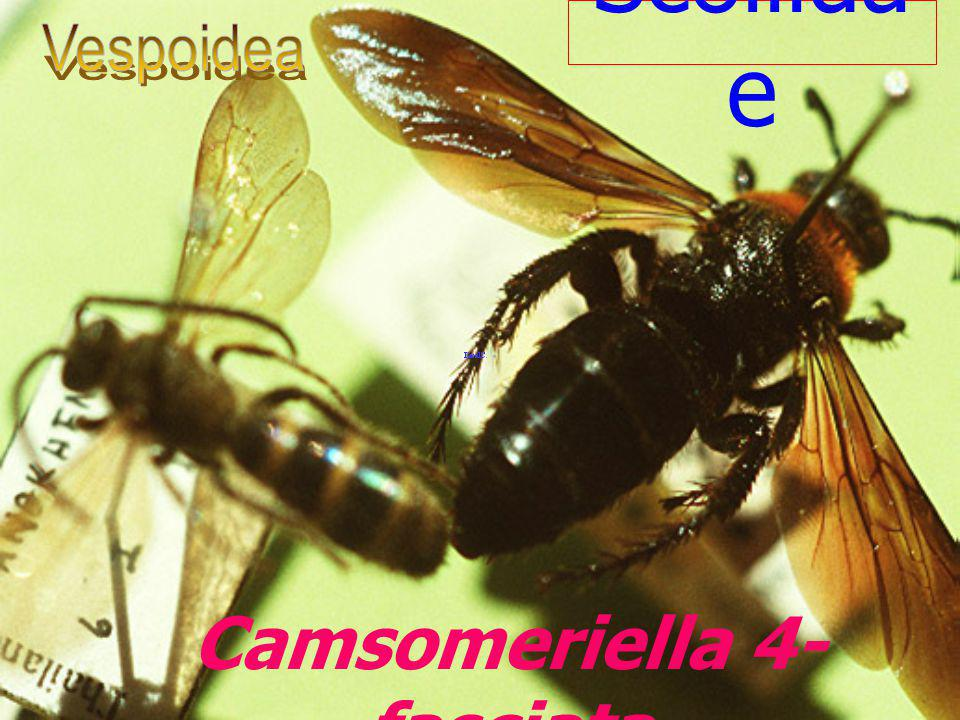 Goniozus triangulifer Bethylidae