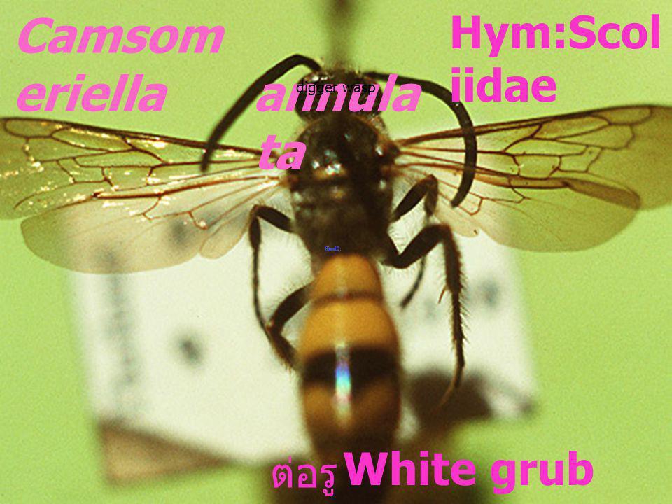 Camsomeriella 4- fasciata Scoliida e