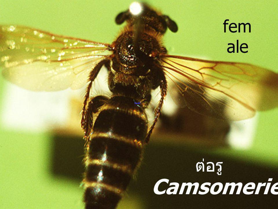 Camsomeri ella sp. F.Scoliid ae ต่อ รู digger wasp