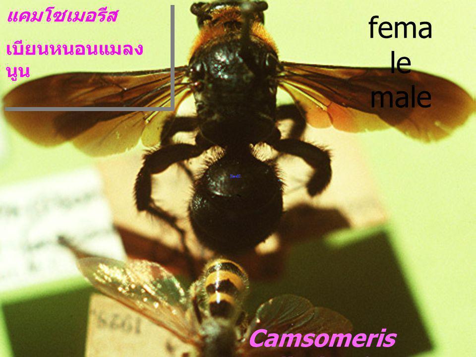 Camsomeriella sp. ต่อรู fem ale