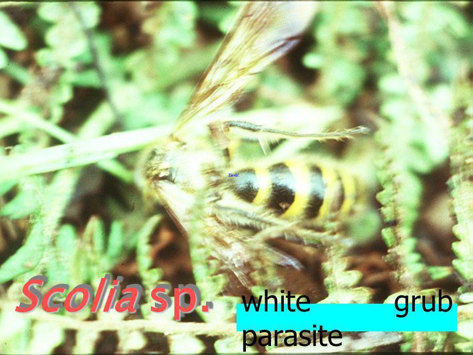 Camsomeris collaris F แตนเบียนหนอนแมลง นูน white grub parasite
