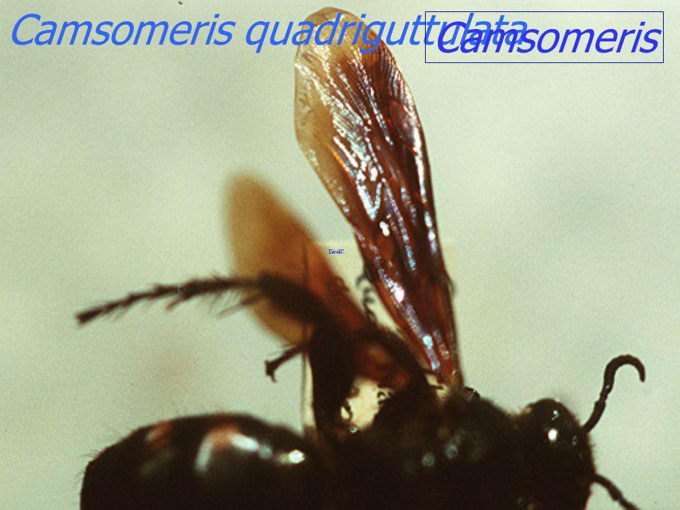 Megascolia azuria siamensis digger wasp