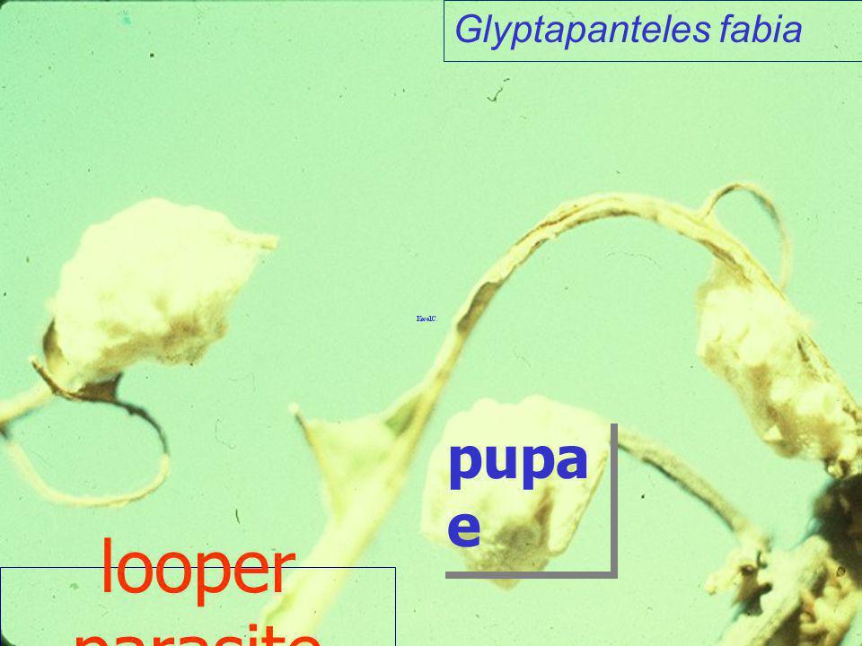 Melcha sp. Hym: Ichneumonidae Melcha