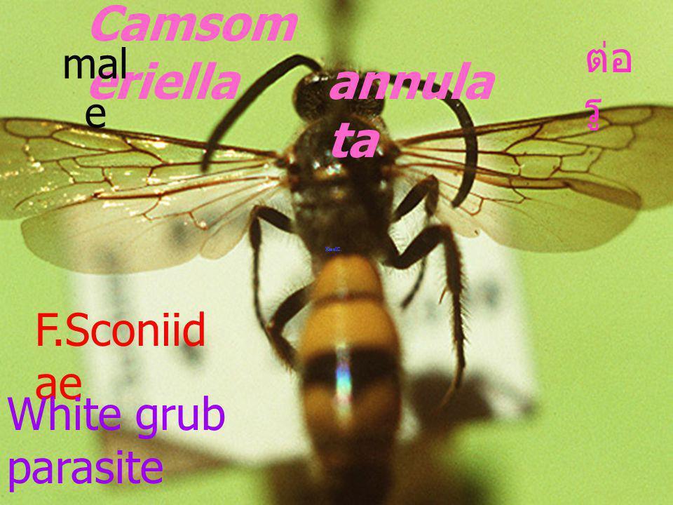 Megascolia azuria siamensis Megascolia