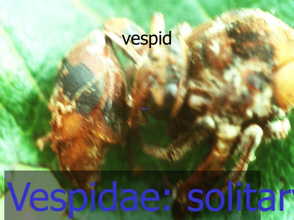 Vespidae: solitary wasp vespid