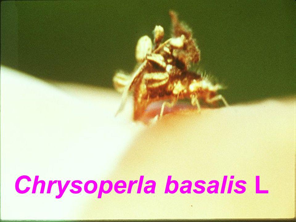Chrysomellid R P