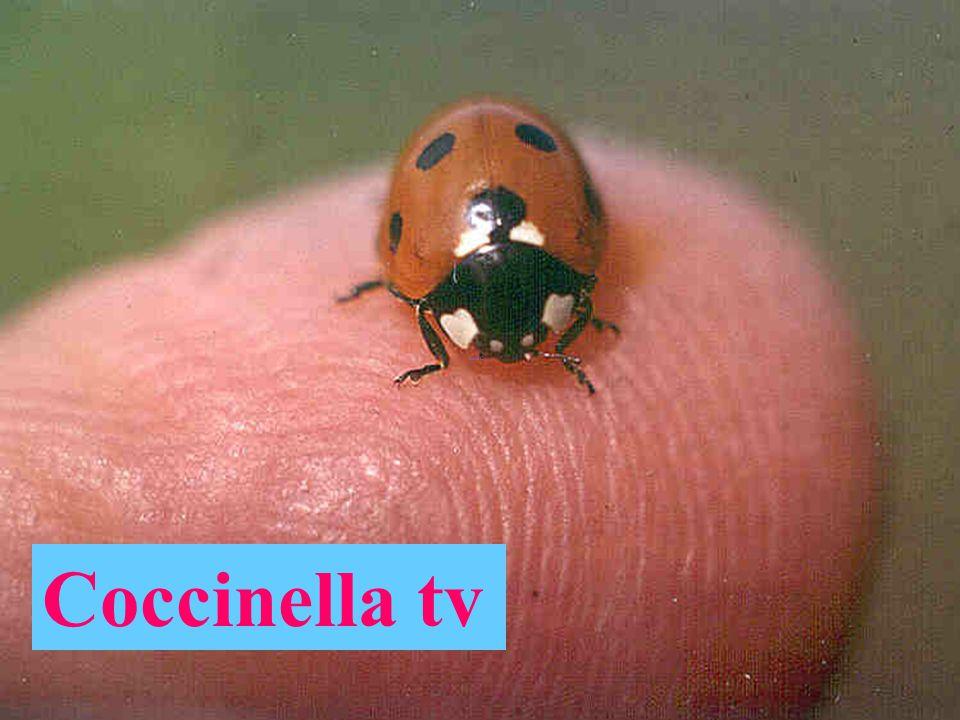 Coccinella sv