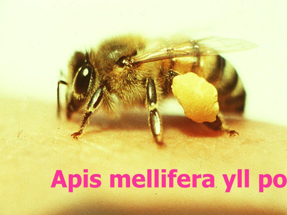 Apis mellifera pollen