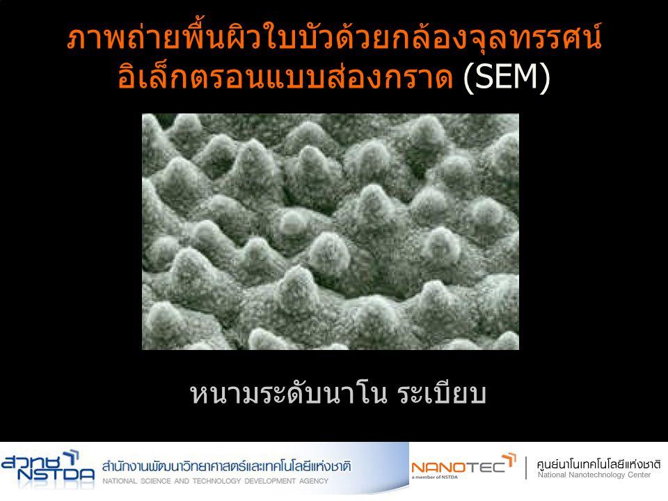 ภาพถ่ายพื้นผิวใบบัวด้วยกล้องจุลทรรศน์ อิเล็กตรอนแบบส่องกราด (SEM) ผิวขรุขระ