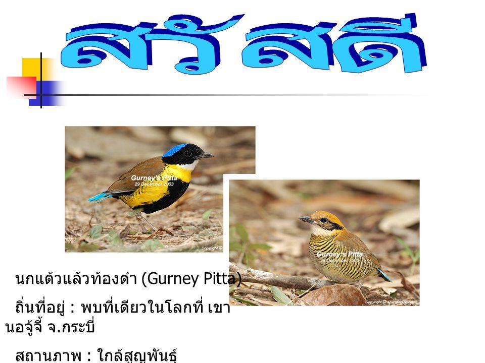 นกแต้วแล้วท้องดำ (Gurney Pitta) ถิ่นที่อยู่ : พบที่เดียวในโลกที่ เขา นอจู้จี้ จ. กระบี่ สถานภาพ : ใกล้สูญพันธุ์