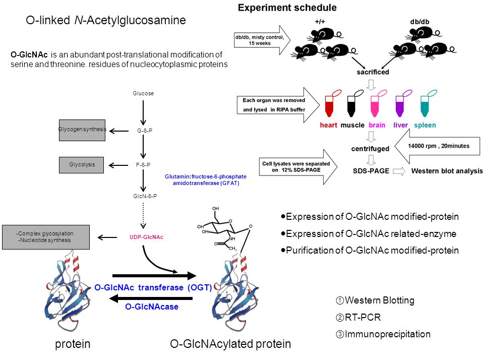 O-GlcNAc transferase (OGT) O-GlcNAcase Glucose Glycogen synthesis Glycolysis GlcN-6-P G-6-P F-6-P Glutamin:fructose-6-phosphate amidotransferase (GFAT) UDP-GlcNAc -Complex glycosylation -Nucleotide synthesis protein O-GlcNAcylated protein ●Expression of O-GlcNAc modified-protein ●Expression of O-GlcNAc related-enzyme ●Purification of O-GlcNAc modified-protein ① Western Blotting ② RT-PCR ③ Immunoprecipitation O-GlcNAc is an abundant post-translational modification of serine and threonine.