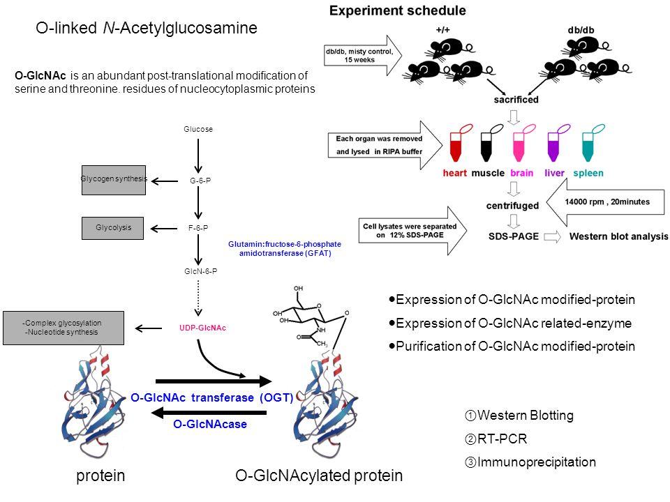 O-GlcNAc transferase (OGT) O-GlcNAcase Glucose Glycogen synthesis Glycolysis GlcN-6-P G-6-P F-6-P Glutamin:fructose-6-phosphate amidotransferase (GFAT