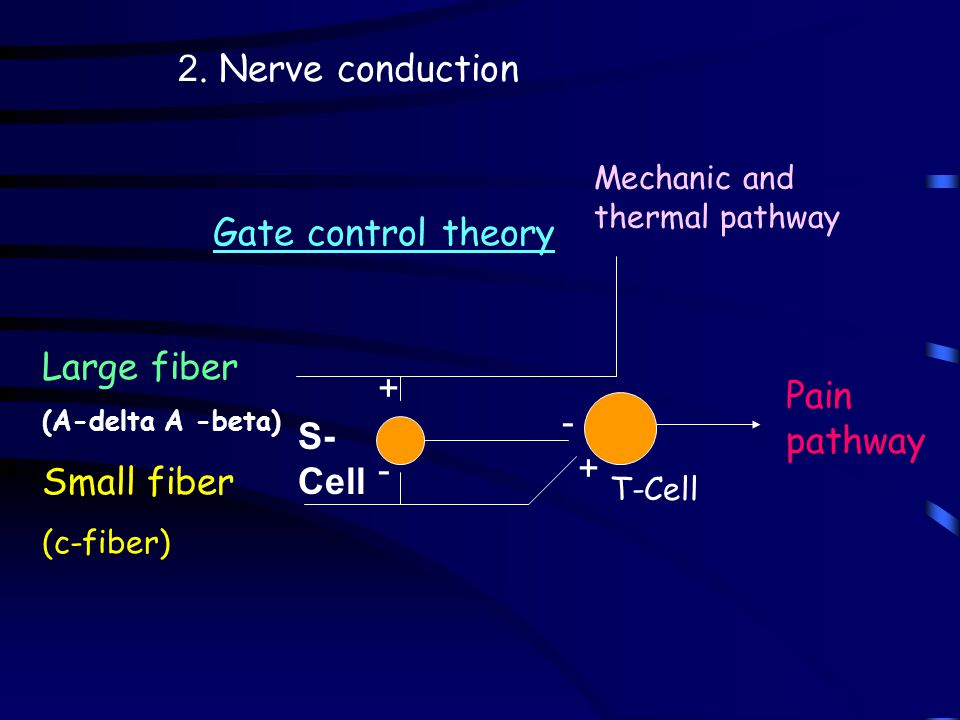 Gate control theory Large fiber (A-delta A -beta) Small fiber (c-fiber) 2. Nerve conduction + + - - Pain pathway Mechanic and thermal pathway T-Cell S