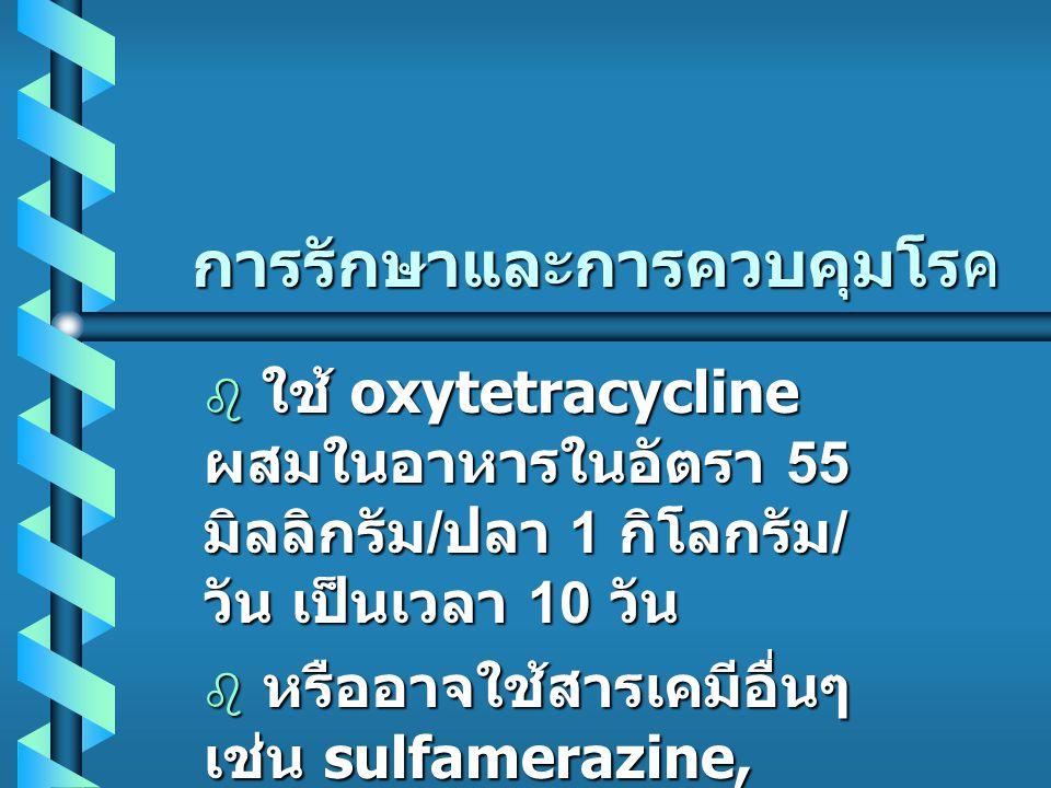 การรักษาและการควบคุมโรค  ใช้ oxytetracycline ผสมในอาหารในอัตรา 55 มิลลิกรัม / ปลา 1 กิโลกรัม / วัน เป็นเวลา 10 วัน  หรืออาจใช้สารเคมีอื่นๆ เช่น sulfamerazine, choramphenicol, furanace