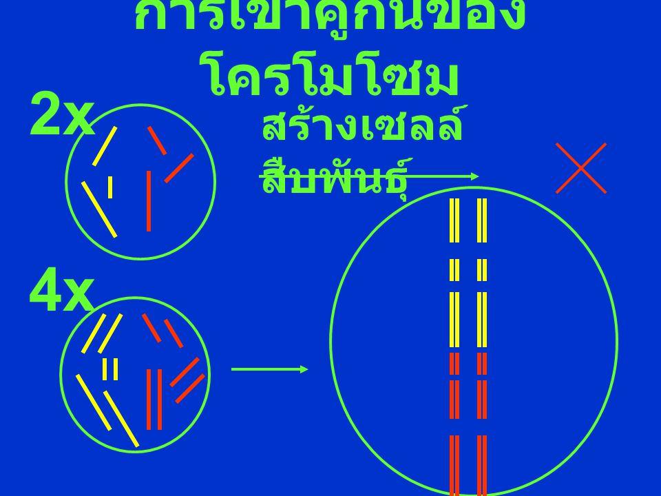 การเข้าคู่กันของ โครโมโซม 2x สร้างเซลล์ สืบพันธุ์ 4x