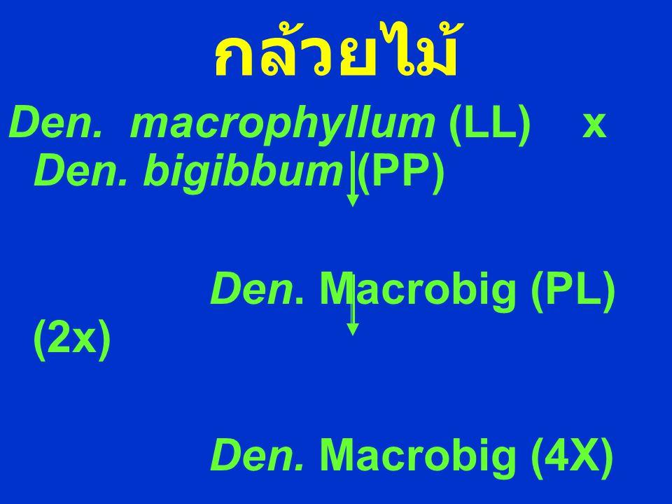 กล้วยไม้ Den. macrophyllum (LL) x Den. bigibbum (PP) Den. Macrobig (PL) (2x) Den. Macrobig (4X)