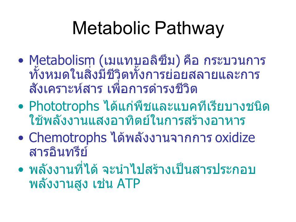 Metabolic Pathway Metabolism (เมแทบอลิซึม) คือ กระบวนการ ทั้งหมดในสิ่งมีชีวิตทั้งการย่อยสลายและการ สังเคราะห์สาร เพื่อการดำรงชีวิต Phototrophs ได้แก่พืชและแบคทีเรียบางชนิด ใช้พลังงานแสงอาทิตย์ในการสร้างอาหาร Chemotrophs ได้พลังงานจากการ oxidize สารอินทรีย์ พลังงานที่ได้ จะนำไปสร้างเป็นสารประกอบ พลังงานสูง เช่น ATP