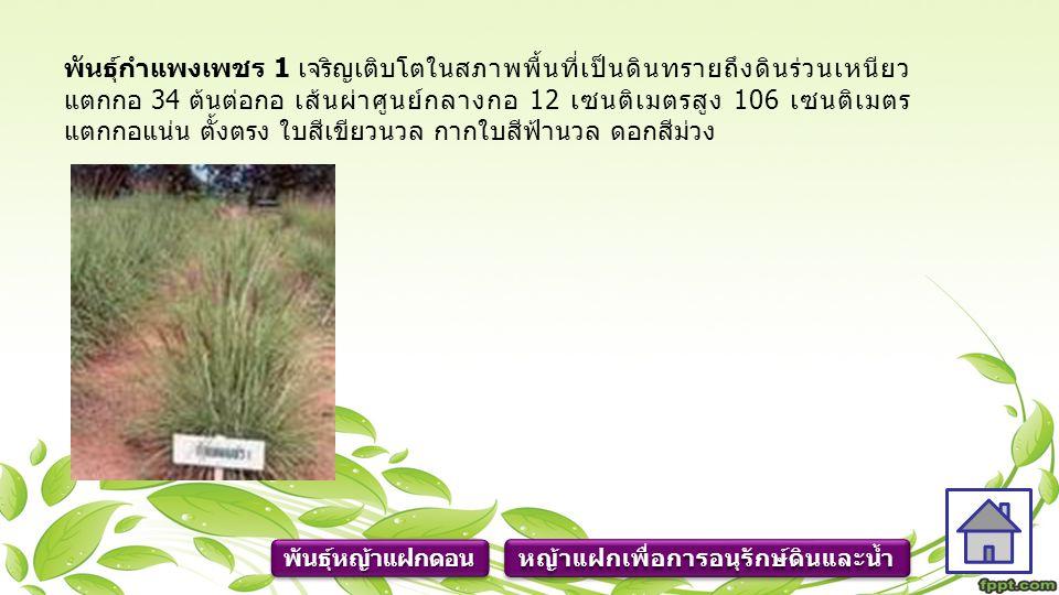 พันธุ์กำแพงเพชร 1 เจริญเติบโตในสภาพพื้นที่เป็นดินทรายถึงดินร่วนเหนียว แตกกอ 34 ต้นต่อกอ เส้นผ่าศูนย์กลางกอ 12 เซนติเมตรสูง 106 เซนติเมตร แตกกอแน่น ตั้