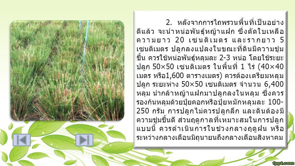 2. หลังจากการไถพรวนพื้นที่เป็นอย่าง ดีแล้ว จะนำหน่อพันธุ์หญ้าแฝก ซึ่งตัดใบเหลือ ความยาว 20 เซนติเมตร และรากยาว 5 เซนติเมตร ปลูกลงแปลงในขณะที่ดินมีความ